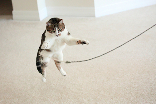 Cat jumping for her toy